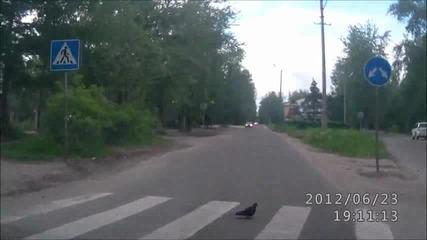 Възпитан руски Гълъб минава по пешеходна пътека