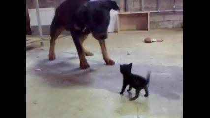 Смело коте се изправя срещу куче