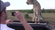 Туристи застават лице в лице с гепард