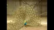 Много Красива Птица(паун)