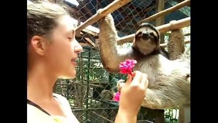 Момиче се приближава към ленивец с цвете. След няколко секунди получава топла прегръдка