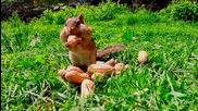 Бурундук яде фъстъци
