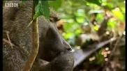 Бабуини срещу шимпанзета