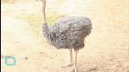 Escaped Emu Goes for a Brisk Jog Around British Town