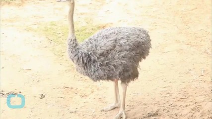 Escaped Emu Goes for a Brisk Jog Around British Town