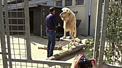 Цирк продава изпражнения от тигри и лъвове