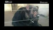 Шимпанзе пуши като комин :)