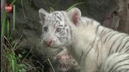 Новородени бели Бенгалски Тигърчета