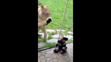 Лъв се опитва да яде бебе !!!