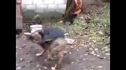 Куче ревнува от опашката си