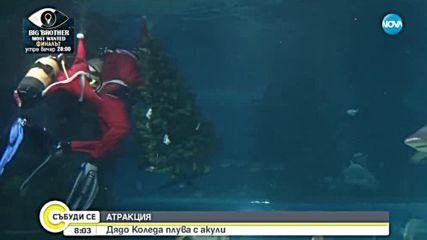 АТРАКЦИЯ: Дядо Коледа плува с акули