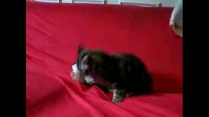Котешки боец