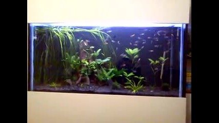 Аквариум - скарида се храни със сомче
