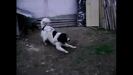 българско овчарско куче пазач