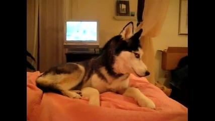 x202a Husky Dog Talking - I love you x202c rlm