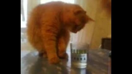 Котка пие нещо като водка Флирт...