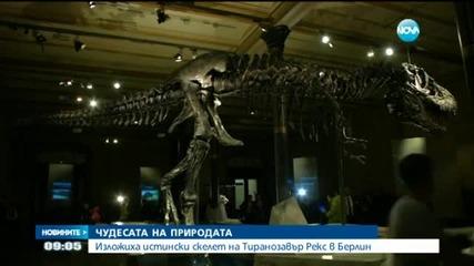 Истински скелет на тиранозавър беше изложен в Берлин