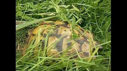 Разходка с костенурка