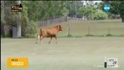 Млад бик подгони деца на футболно игрище