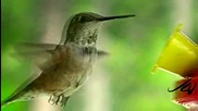 hummingbirds ~ up close & slow motion (hd)