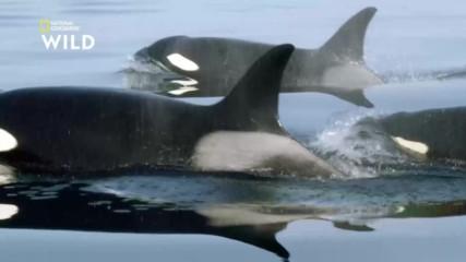 Сивите китове