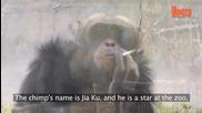 Маймуна пуши цигара и пие натурален сок