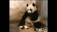 dve sladki pandi