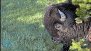 Bison Gores Taiwanese Girl at Yellowstone