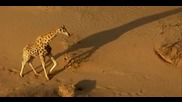 "Bbc - David Attenborough's ""africa"" - s01e01 - Kalahari (2013)"