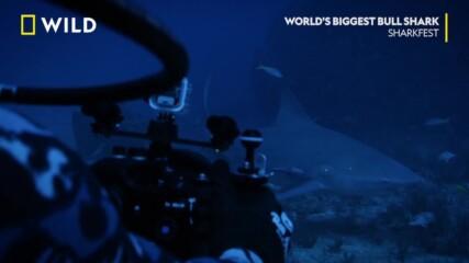 Измерване на акули | Фестивал на акулите | NG Wild Bulgaria