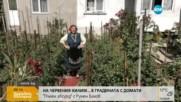 """""""Пълен абсурд"""": Червен килим в градина с домати"""