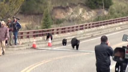 Мечки преследват туристи в национален парк Йелоустоун