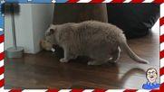 Смешни котки срещу плюшени играчки - Смях