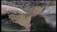 Животът на комодския варан