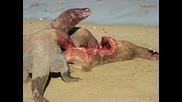 3 Варани Гущери се хранят от животинска плът...