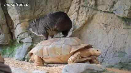 Животни се возят на костенурки - компилация - смях