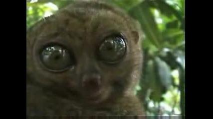 Strqska6t Lemur
