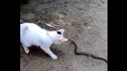 Любопитна Котка Се Закача С Змия