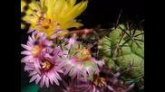 Цветовете На Кактусите