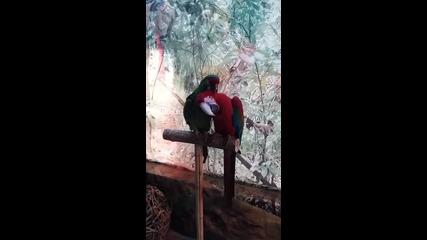 Папагали Ара