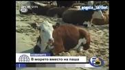 С Крави На Море Идеалното Място За Почивка - Господари На Ефира 18.07.2008