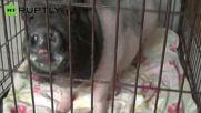 Violent Mini Pig in Anger Management After Owners Left Disgruntled