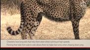 Защо гепардите бягат толкова бързо?