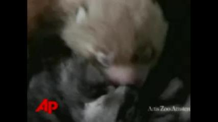 Cat Adopts Baby Red Panda