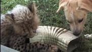 Необикновено приятелство между бебе гепард и кученце!