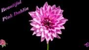 Дарове от природата - красиви розови далии! ... ... (music by Armik) ...