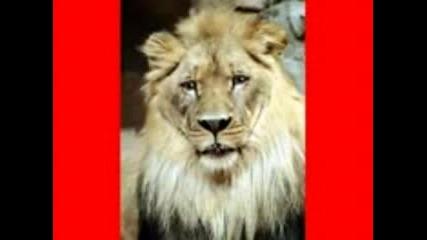 Лъв Говори С Човешки Глас