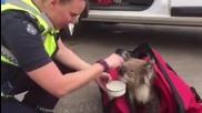 Australia: Koala rescued from raging bushfire