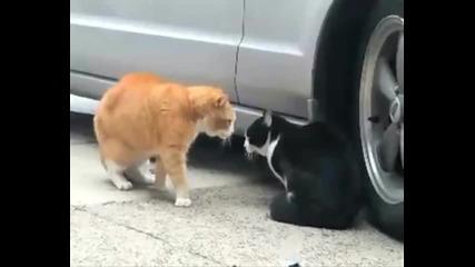 Коте се кара на друго коте
