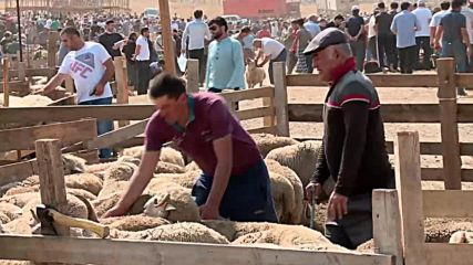 Russia: Sheep slaughtered for Eid al-Adha celebrations in Makhachkala
